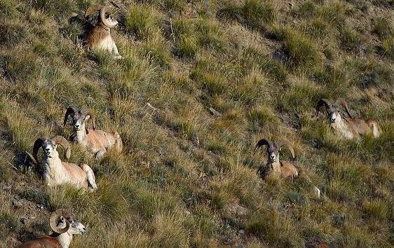 Argali Wild Sheep