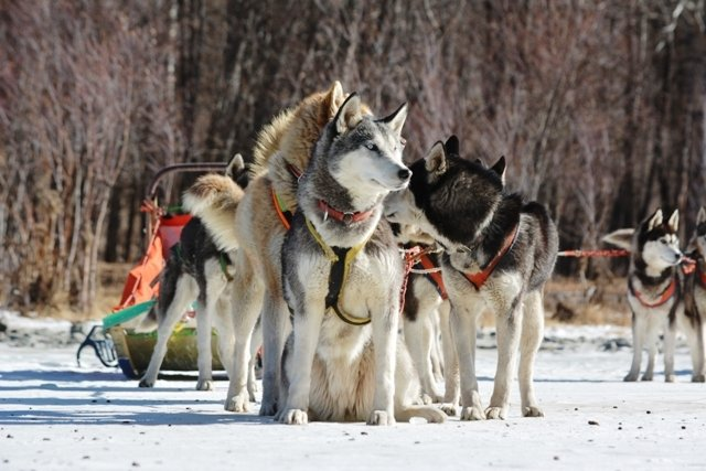 Dog sledding trip in Mongolia with Huskies dogs