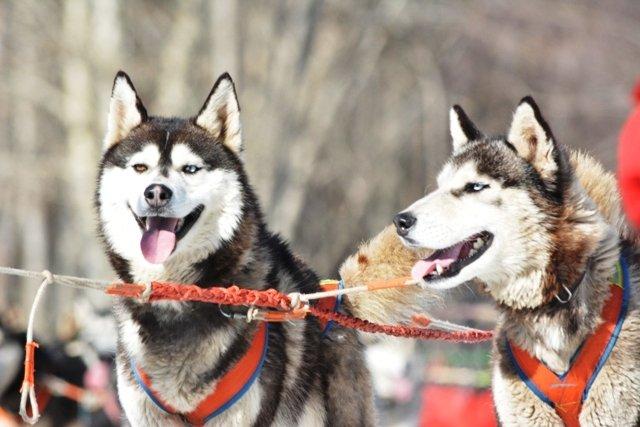 mongolia winter tour dog sledding