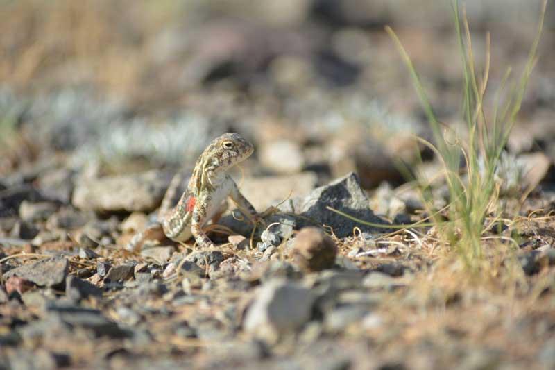 wildlife in the Gobi Desert of Mongolia